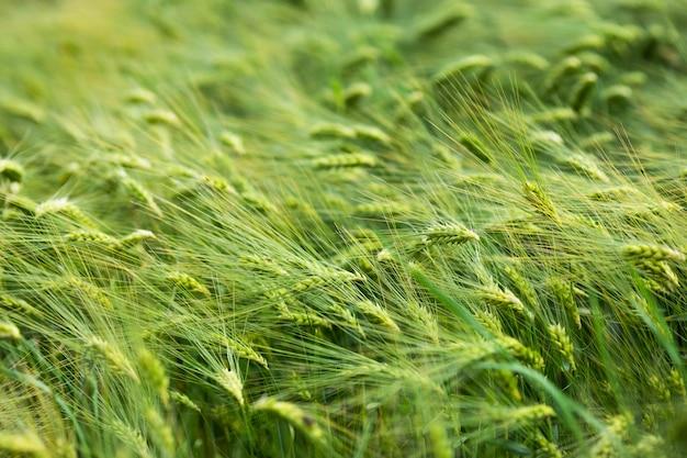 Выращивание зеленого ячменя на ферме. сырье для муки и пива
