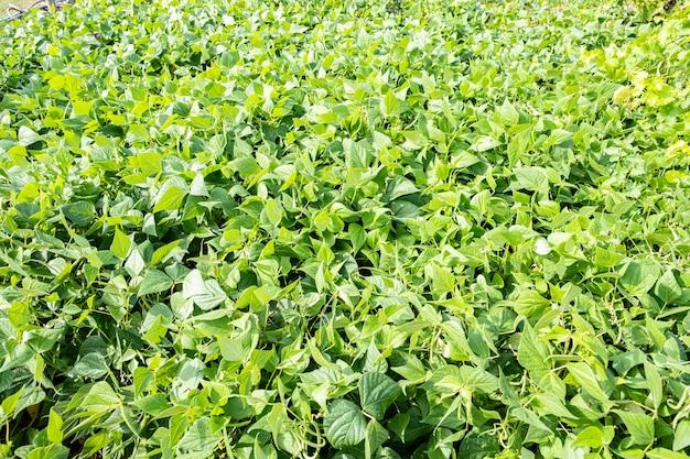 Выращивание зеленой фасоли в саду пермакультуры летом