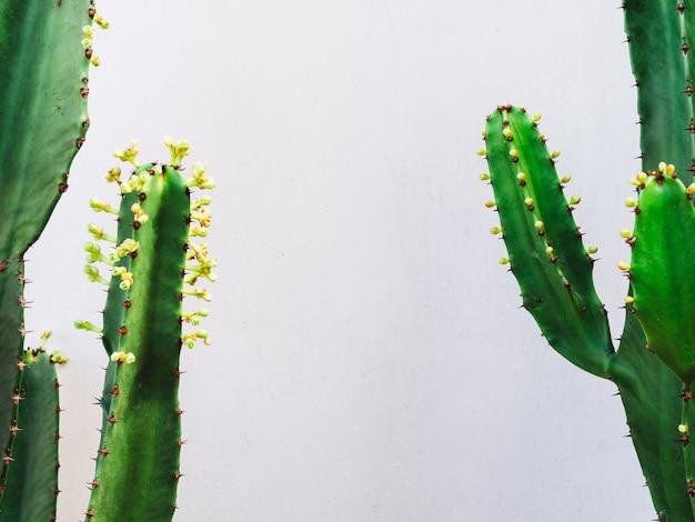 Растущее зеленое растение кактуса с небольшими цветками кактуса роста, изолированными на белом фоне с копией пространства.