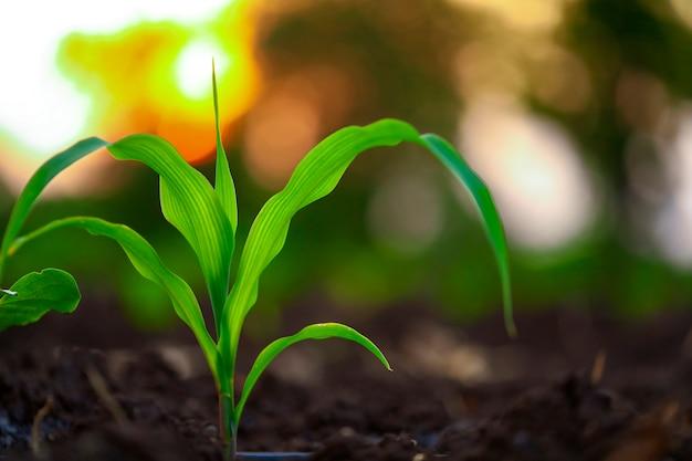 黒い土で育つ緑のトウモロコシの苗