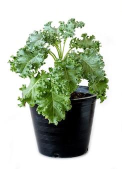 Выращивание зеленой капусты и в овощных горшках