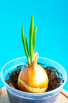 家でネギを育てる、青い背景の植木鉢に若いタマネギの芽、苗