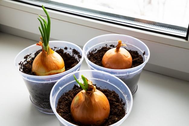 家でネギを育てる、窓辺、家の庭の植木鉢に若いタマネギの芽