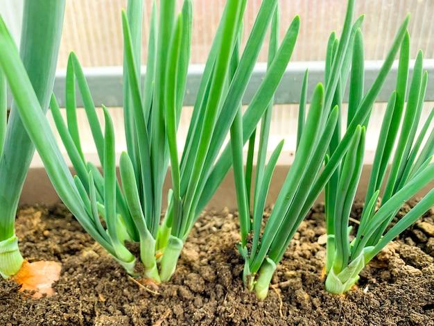 温室で地面にネギを育てる