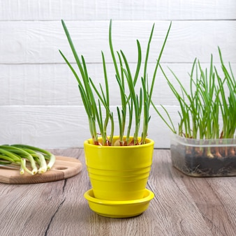 성장하는 파 샬롯. 냄비에 유기 야채 식물입니다.