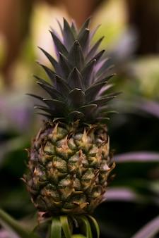 Growing green pineapple