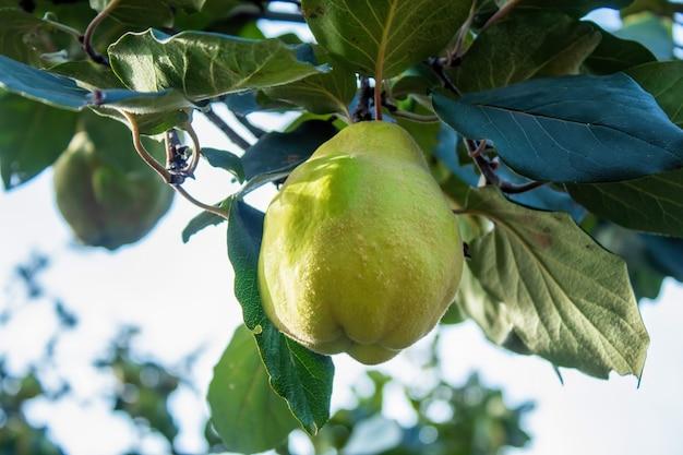 Una mela cotogna verde in crescita con muschio in superficie, foglie verdi intorno