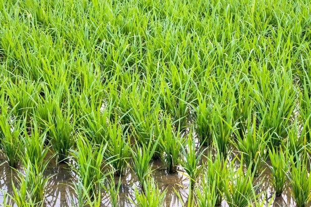 물에 농업 농장에서 성장하는 녹색 쌀 나무