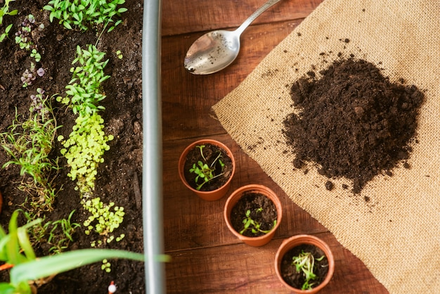 Growing greens with your own hands at home. an environmentally friendly product grown at home. home care mini-garden