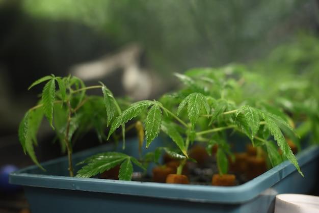 屋内栽培での大麻の挿し木