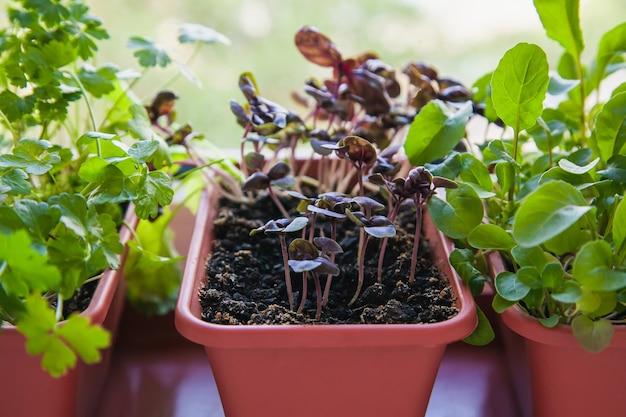 창턱에 성장하는 허브. 흰색 창턱에 냄비에 라일락 바질, 파슬리 및 arugula의 어린 콩나물.