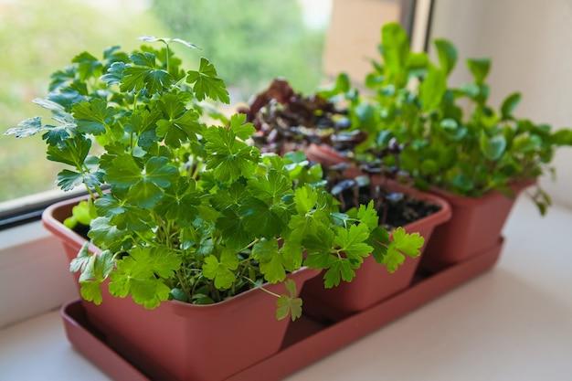 창턱에 성장하는 허브. 흰색 창턱에 냄비에 파슬리, arugula 및 라일락 바질의 어린 콩나물.