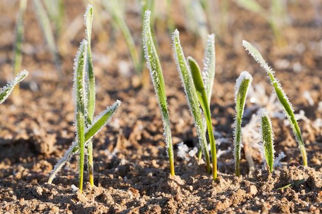朝の霜で冬コムギの若い緑の芽を農業分野で育てています。