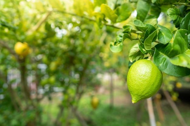 Growing lemon on tree at vegetable garden