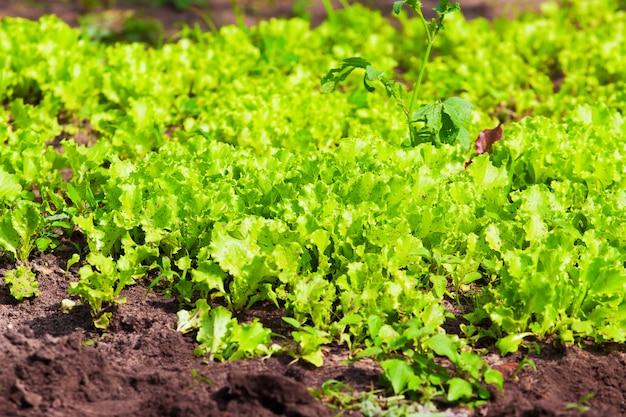 Growing lettuce in open ground
