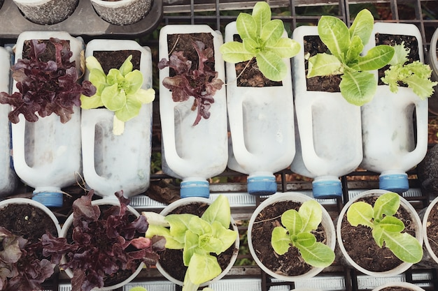 Growing lettuce in used plastic bottles and cups