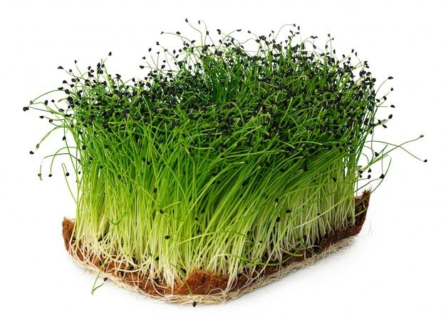 Выращивание микро зеленый лук в лотке, изолированных на белом