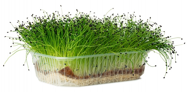 Growing micro green of onion in a tray isolated on white