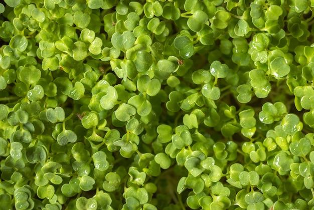 Выращивание микро-зелени для диеты, ростки микро-рукколы, концепция здорового питания, свежий зеленый суперпродукт, фон выборочного фокуса, фоновая текстура микрозелени