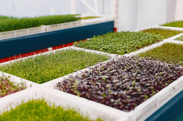 테이블 배경에 성장하는 microgreens. 건강한 먹는 개념. 건강의 상징으로 유기적으로 재배 된 신선한 정원 농산물. microgreens 근접 촬영입니다.
