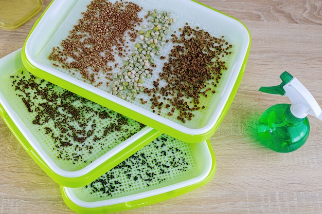 Growing microgreens. the process of planting seeds in microgreening trays. germination of seeds.