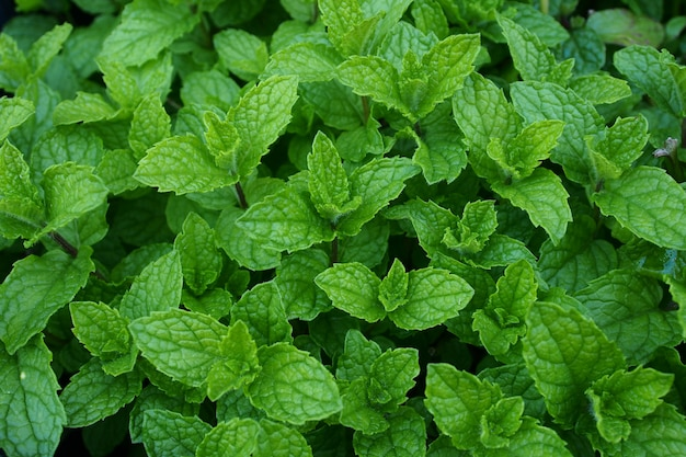 Growing mint leaves green background