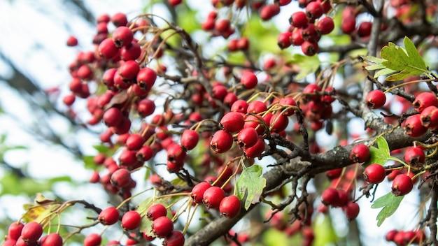 녹색 잎을 가진 여러 붉은 산사 나무속 성장
