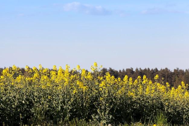 Растущие на краю поля пора распускаться желтыми цветами.