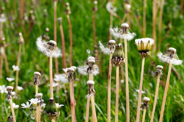 風が吹いた牧草地の白いタンポポの種で育つ、春の自然のクローズアップ