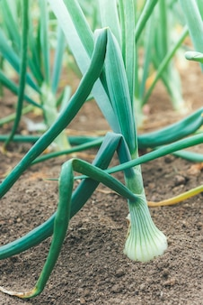 Growing onion growing in garden.