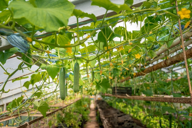 Growing organic cucumbers without chemicals and pesticides in a greenhouse on the farm, healthy vegetables with vitamins
