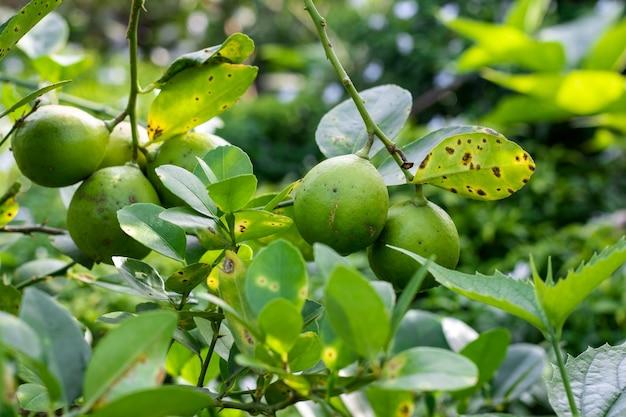 나무에서 자라는 유기농 녹색 레몬은 선택적인 초점으로 가까이에서 볼 수 있습니다