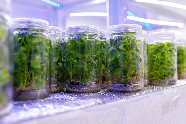 Growing paulownia plants under sterile conditions. micropropagation of flowers and trees in the laboratory under artificial lighting.