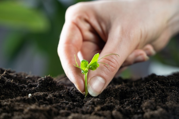 黒い土で成長する豆苗