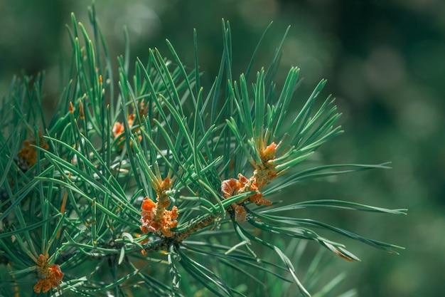 Growing pine bud. macro growth.