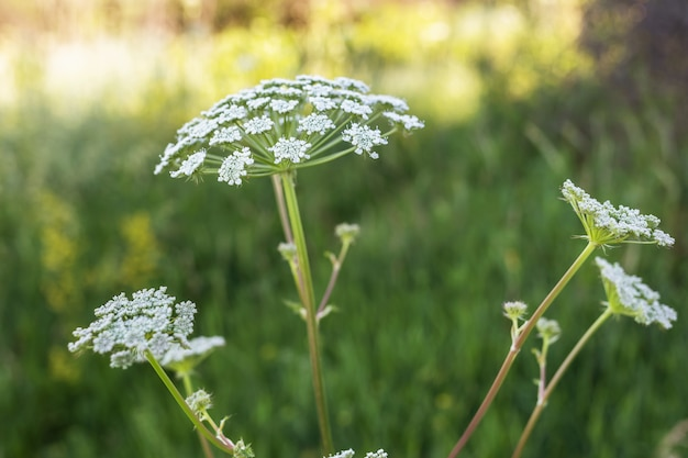 Growing poisonous plant hogweed, heracleum