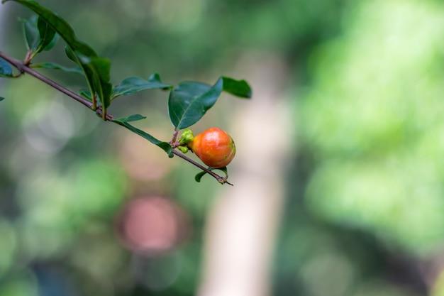 집 정원에서 성장하는 석류 꽃 봉오리를 닫습니다.