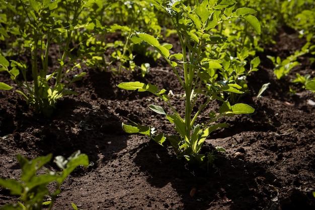 農場でジャガイモ畑を育てる