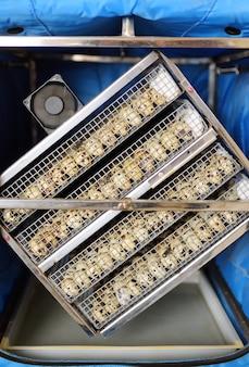 가금류 농장에서 메추라기를 키우고 있습니다. 특별한 상자 인큐베이터에서 많은 메추라기 알 클로즈업.