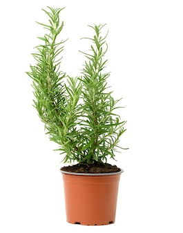 Growing rosemary bush in brown plastic pot, spice isolated on white background