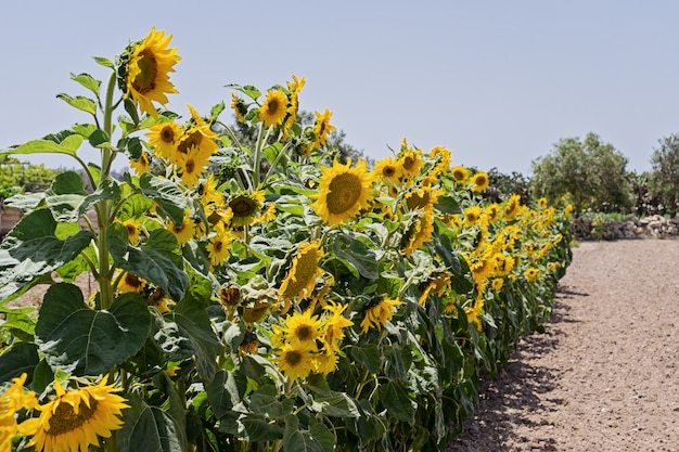 Growing in row sunflowers on field in malta