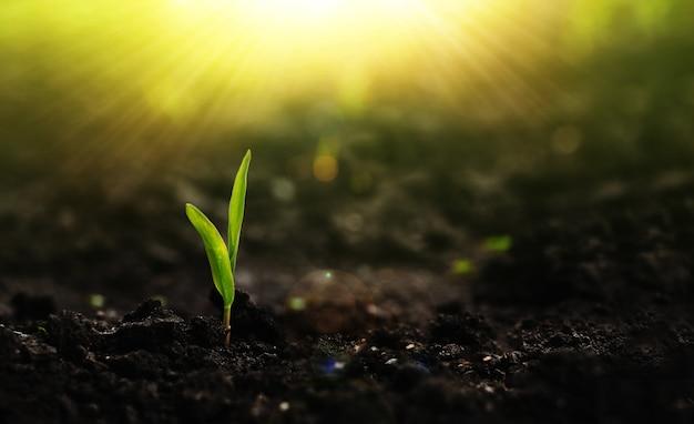Выращивание рассады кукурузы новая жизнь молодых растений на закате концепция сохранения окружающей среды