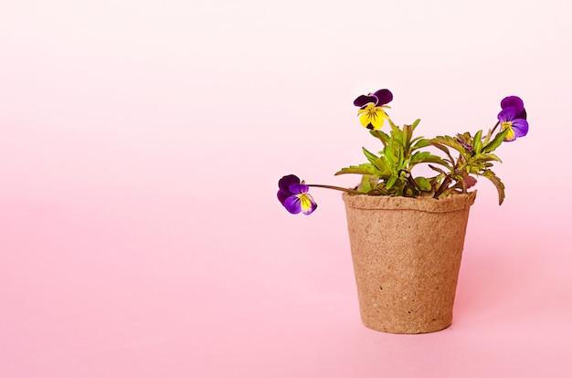 成長する苗木、花、泥炭ポットの種子。春のガーデニング、ツール、機器。パンジー