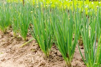 成長している春の玉ねぎは、庭の背景にサラダのタマネギ