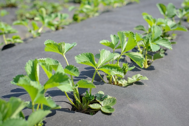 Growing strawberry on agro fiber in rows