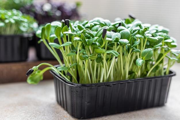건강한 식생활과 다이어트를 위한 해바라기 새싹 재배. 신선한 microgreens를 닫습니다. 선택적 초점입니다.
