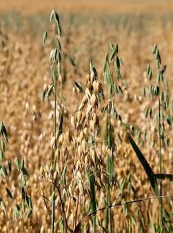 Выращивание спелых желтых и незрелых зеленых колосков овса на сельскохозяйственном поле