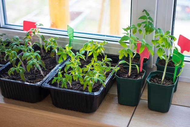 태그 레이블이있는 발코니 창틀에 토양이있는 플라스틱 냄비에 토마토 모종 식물을 재배합니다.