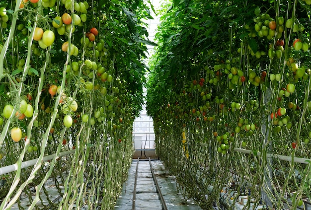 自然光が差し込む水耕温室でトマトを育てる。