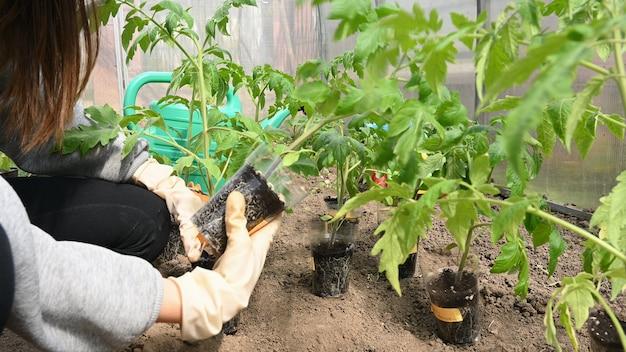 ポリカーボネート温室でトマトを育てる。